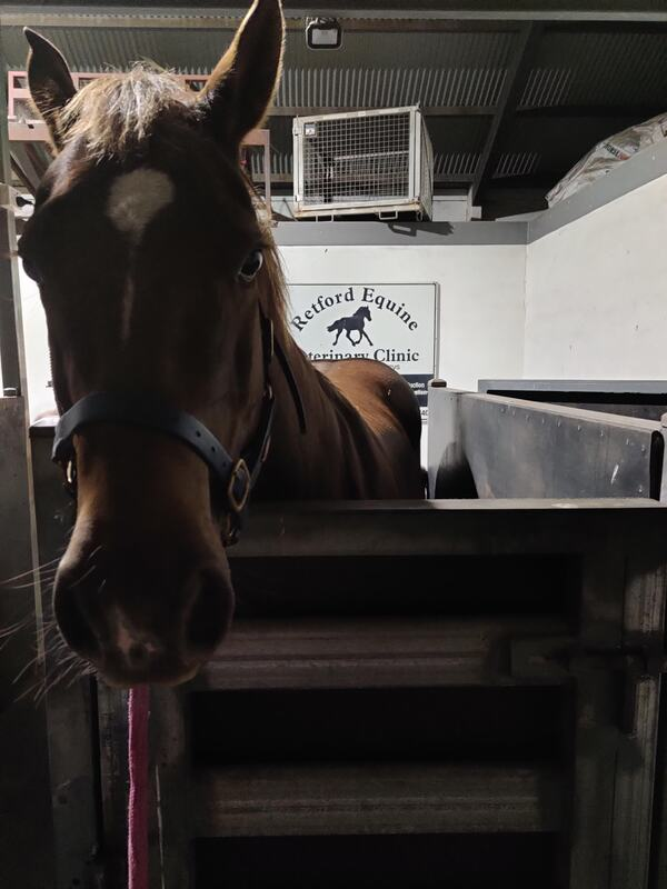 Mare in the crush at reford equine veterinary clinic